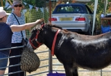 IOW DONKEY SANCTUARY AT BRIGHSTONE SUMMER SHOW