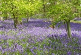 Mottistone Bluebell Wood - by Terry Hack